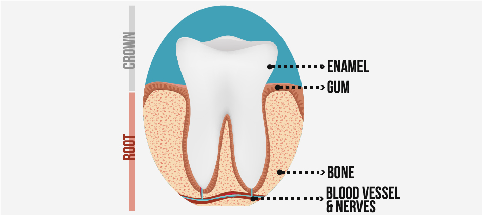 tooth-pulp-anatomy